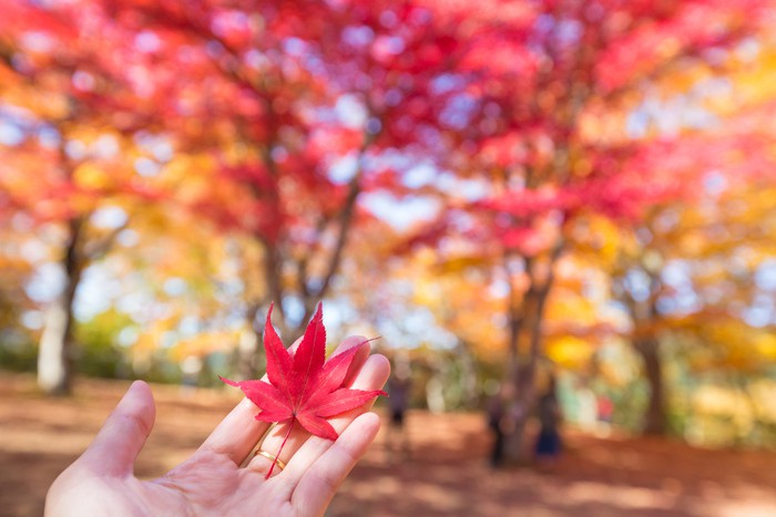 red maple leaf on hand in park