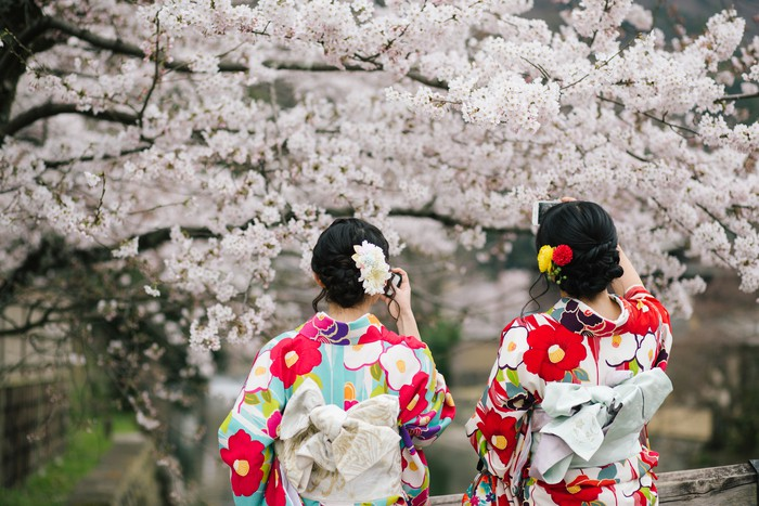 Two girls in kimino dresses take photo of sakura